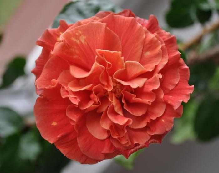 hibiskus chinesische rose orange blüte
