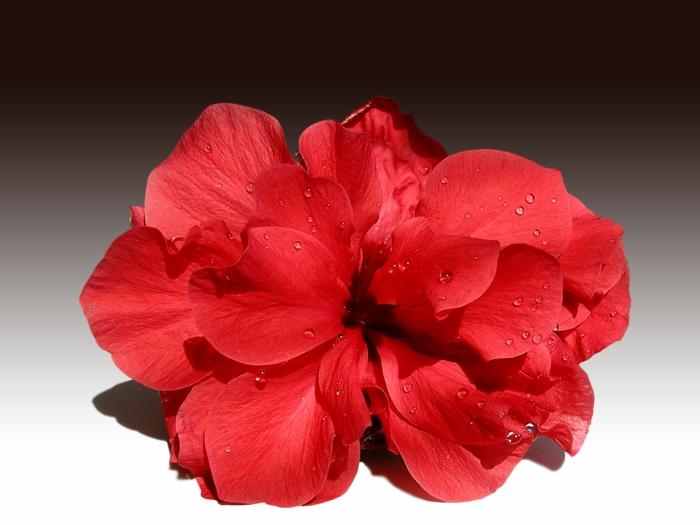 hibiskus chinesische rose rote blüte