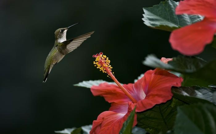 hibiskus exotische blumen sträucher kolibri