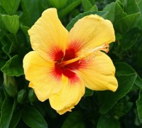 Der Hibiskus – zarte Blumenpracht aus dem Fernen Osten