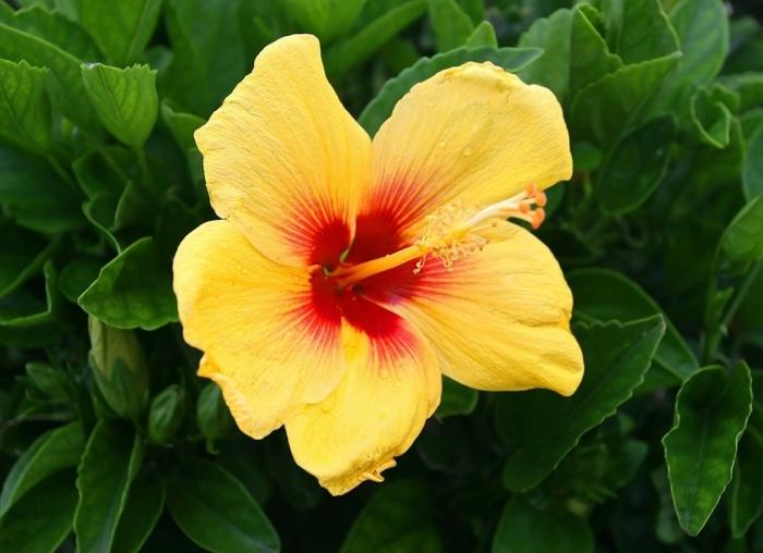 hibiskus gelbe blüte strauch