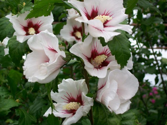 hibiskus weiße blüten strauch