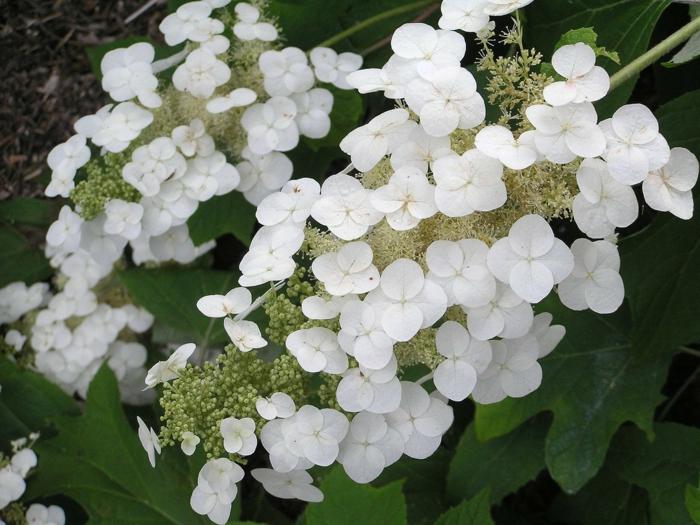 hortensie pflege Hydrangea quercifolia weiße blüten