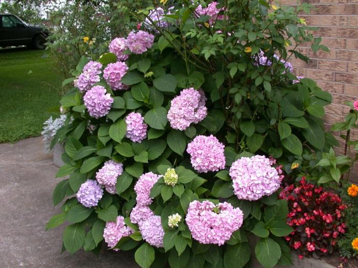 hortensie pflege garten ideen pflanzen
