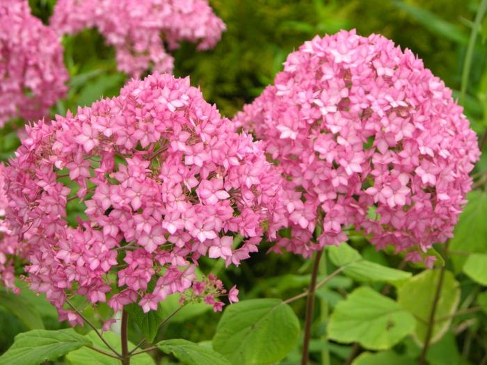 hortensie pflege wunderschöne blüten garten pflanzen