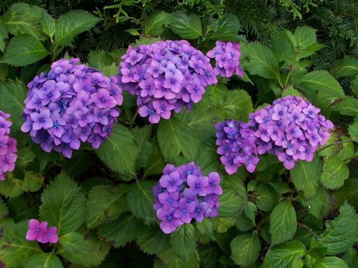 hortensien pflege Hydrangea macrophylla lila blüten