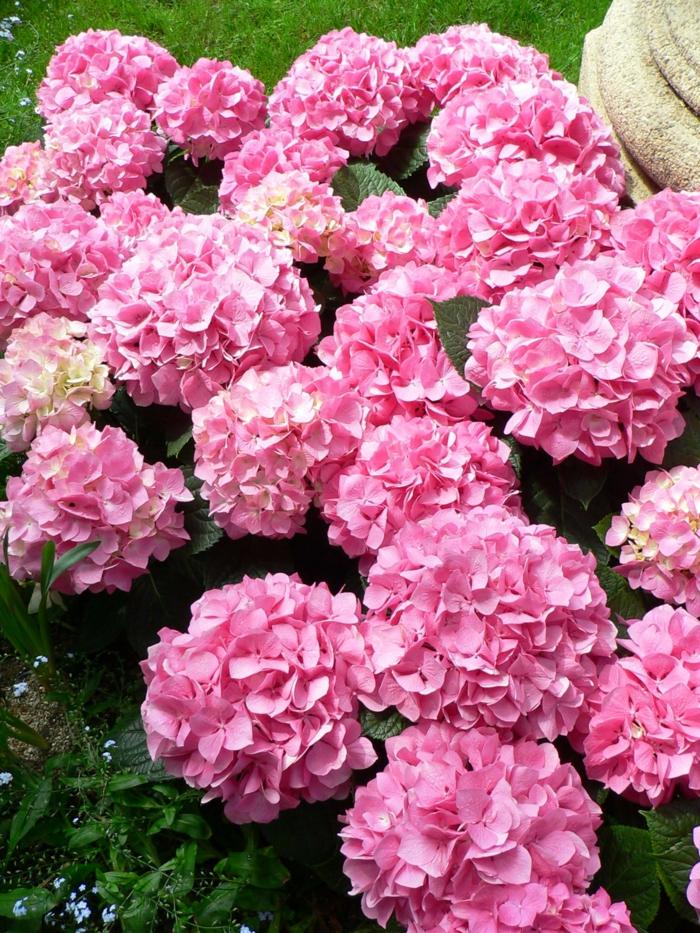 hortensien pflege Hydrangea macrophylla rosa