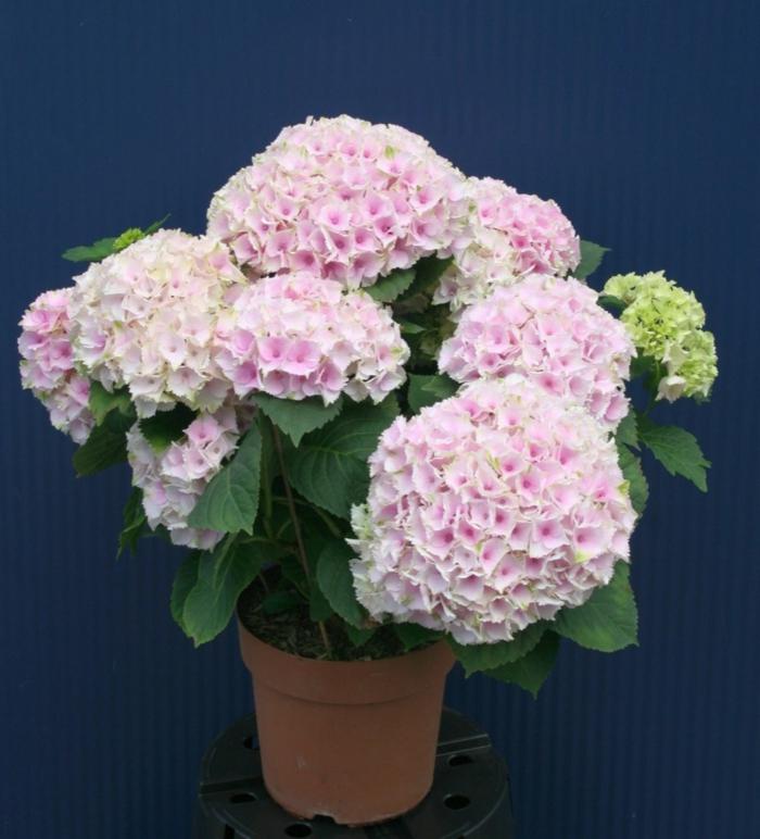 hortensien pflege blumentopf schöne dekoideen pflanzen