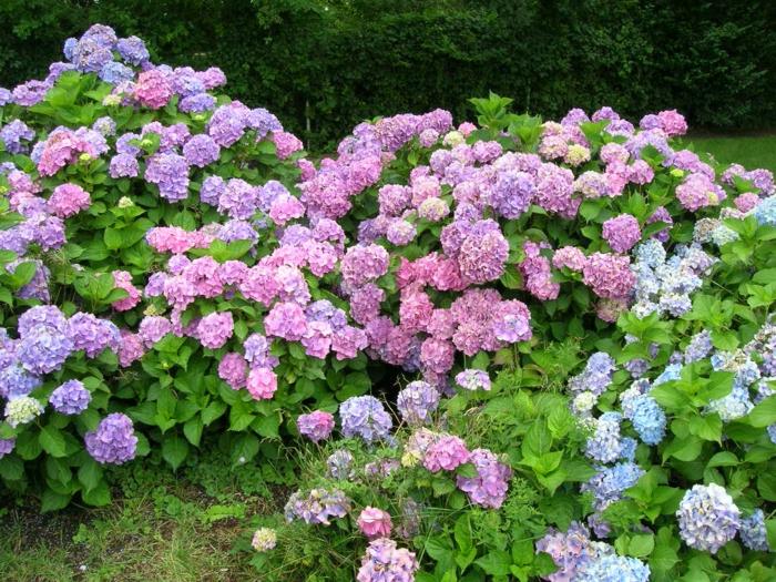 hortensien pflege garten pflanzen