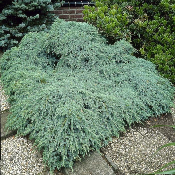immergrüne pflanze Beschuppter Wacholder strauch