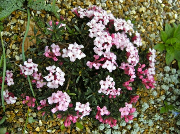 immergrüne pflanze Seidelbast garten verschönern