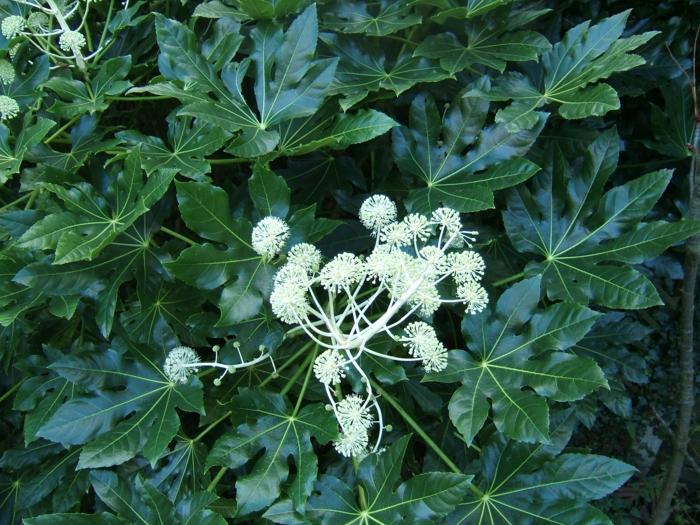 immergrüne pflanze Zimmeraralie garten sträuche