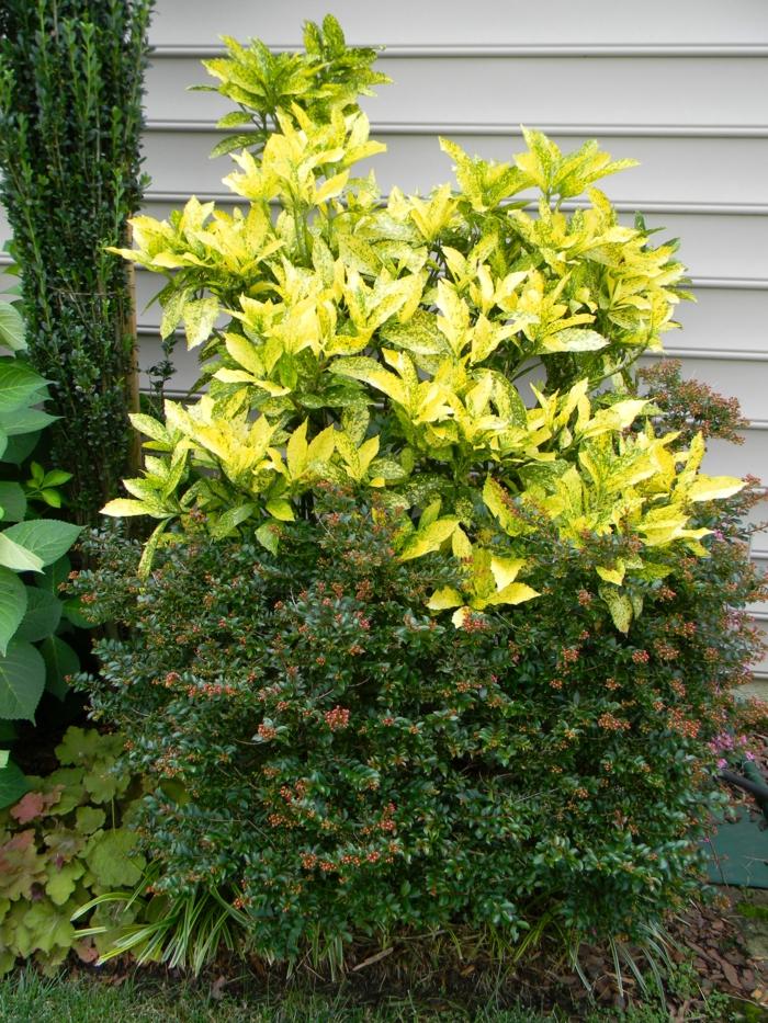 immergrüne pflanze garten sträucher Aukuben