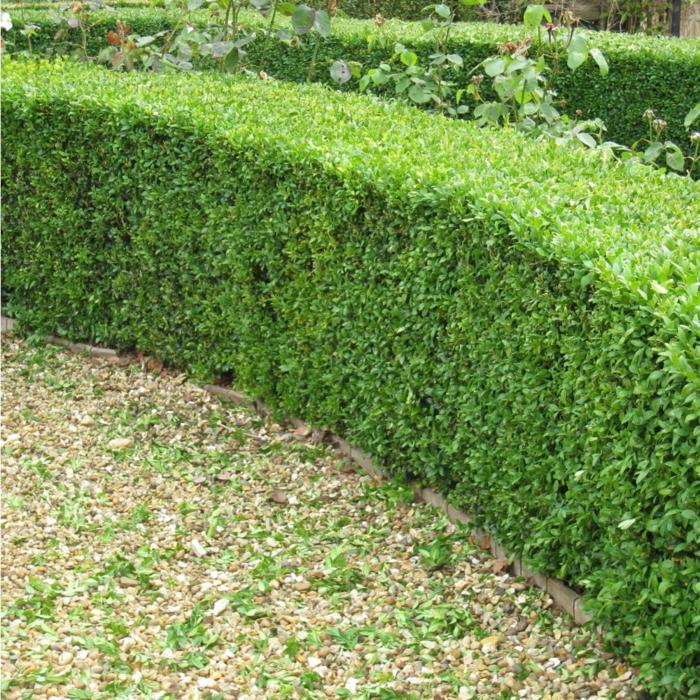 immergrüne pflanzen Buchsbaumstrauch garten gestalten