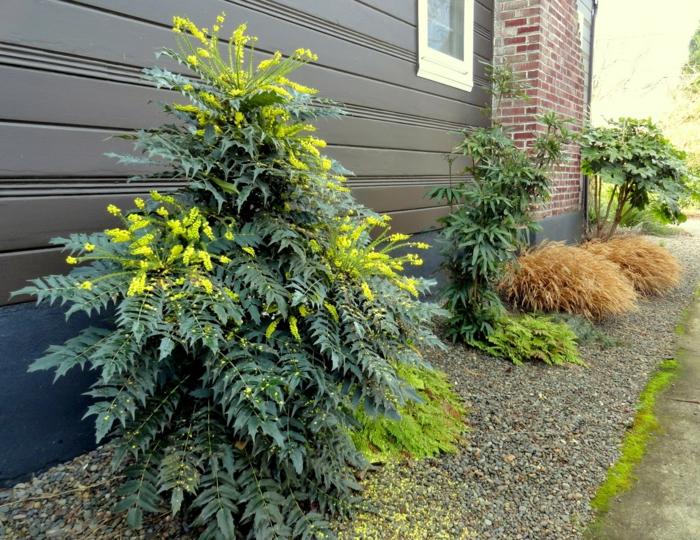 immergrüne pflanzen garten gestalten mahonie
