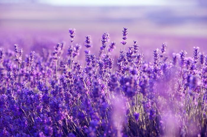 immergrüne pflanzen lavendel einpflanzen gartenideen