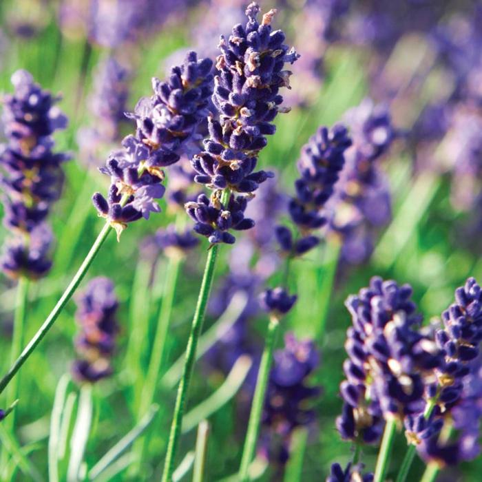 immergrüne pflanzen lavendel garten gestalten