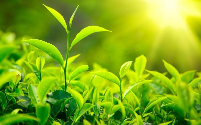 matcha tee gesunde pflanze