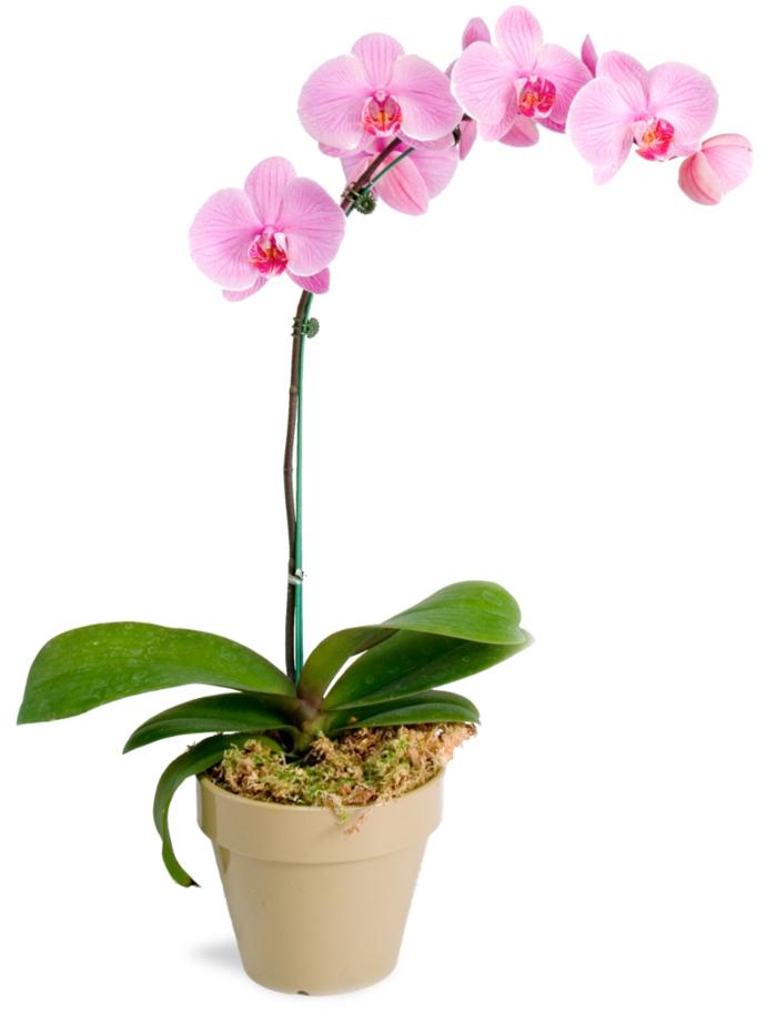 orchidee pflege rosa blüten frische deko
