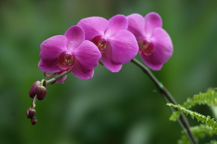 orchideen pflegen lila blüten verschiedene arten