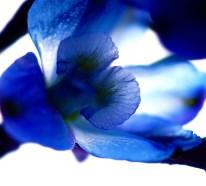 Der Rittersporn – sommerliche Inspiration mit prächtigen Blüten