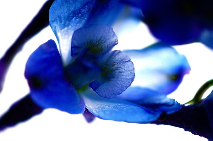 rittersporn gartenpflanzen blaue blüte nahaufnahme