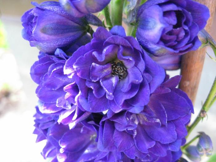 rittersporn gartenpflanze  saftige blüten blau