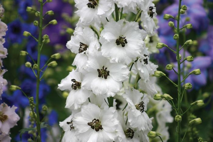 delphinium gartenpflanzen weiße blüten