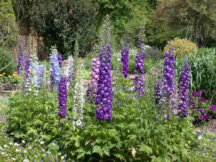 delphinium lila weiß blau lange glockenförmige blüten