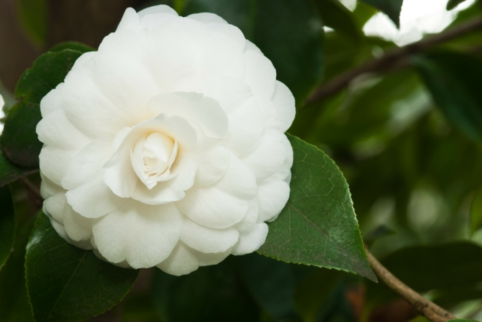 gartenpflanzen weiße kamelie winterharte arten