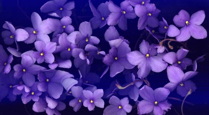 Die Farbe Lila Veilchen