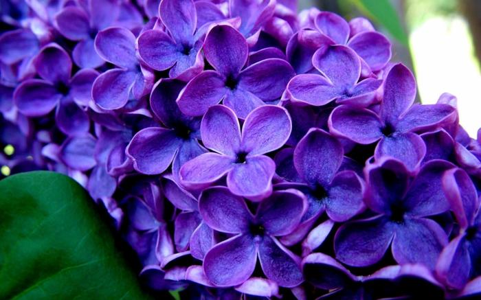 Die Farbe Lila flieder