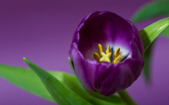 Die Farbe Lila tulpe