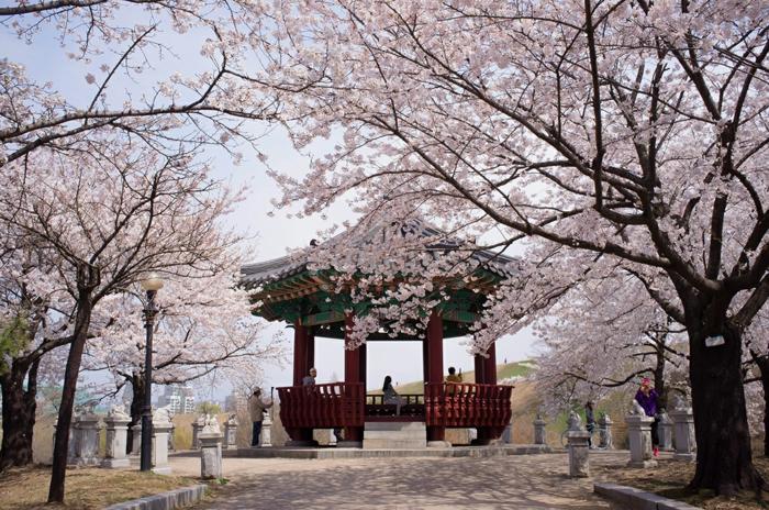 Hauptstadt von Südkorea Kirschblüten festival olymppia park