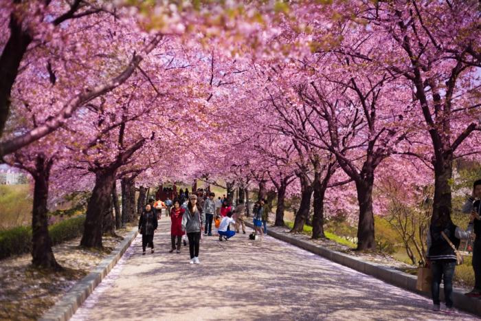 Hauptstadt von Südkorea Kirschblüten
