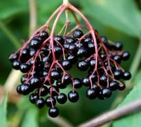 Holunder- die magische Beere