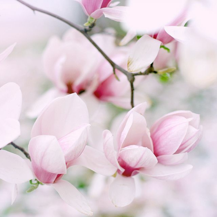 Magnolien baum gartenpflanzen und bäume