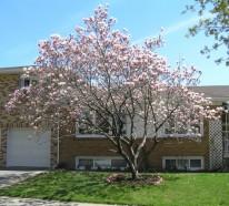 die sch hneit der magnolien erste schritte bei anpflanzen und pflege. Black Bedroom Furniture Sets. Home Design Ideas