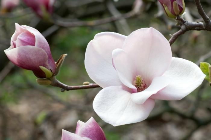 Magnolien baum im vorgarten gestalten gartenpflanzen