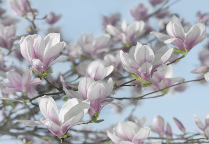 Magnolien baum im vorgarten züchten gartenpflanzen