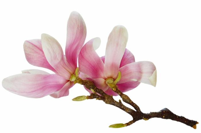 Magnolien blühten schönheit natürlichkeit