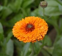 Ringelblumen- 4 Beweise für die heilende und pflegende Kraft der Natur