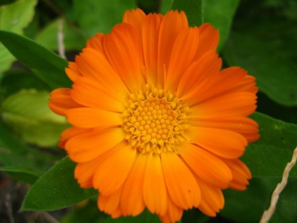 Ungeziefer bekaempfen gartenpflanzen gegen muecken ringelblumen gartenpflanzen
