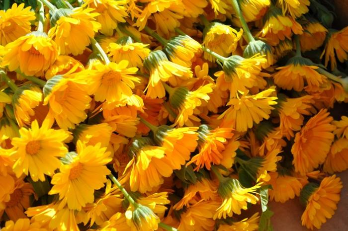 Ringelblume pflanze