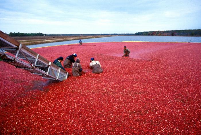 Was sind Cranberries verarbeiten