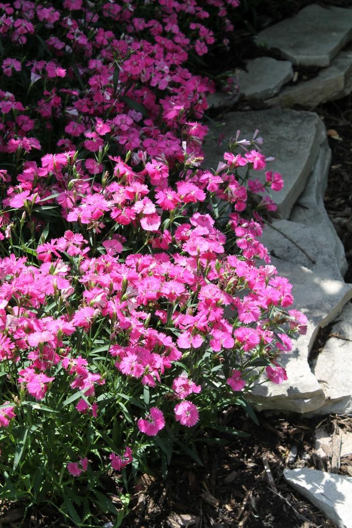 garten verschönern Heidenelke bodengestaltung gartenpflanzen