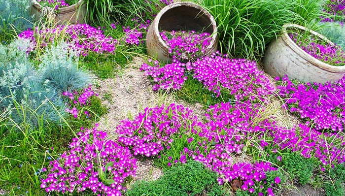 garten verschönern frische gartengestaltung bodendecker lila blüten