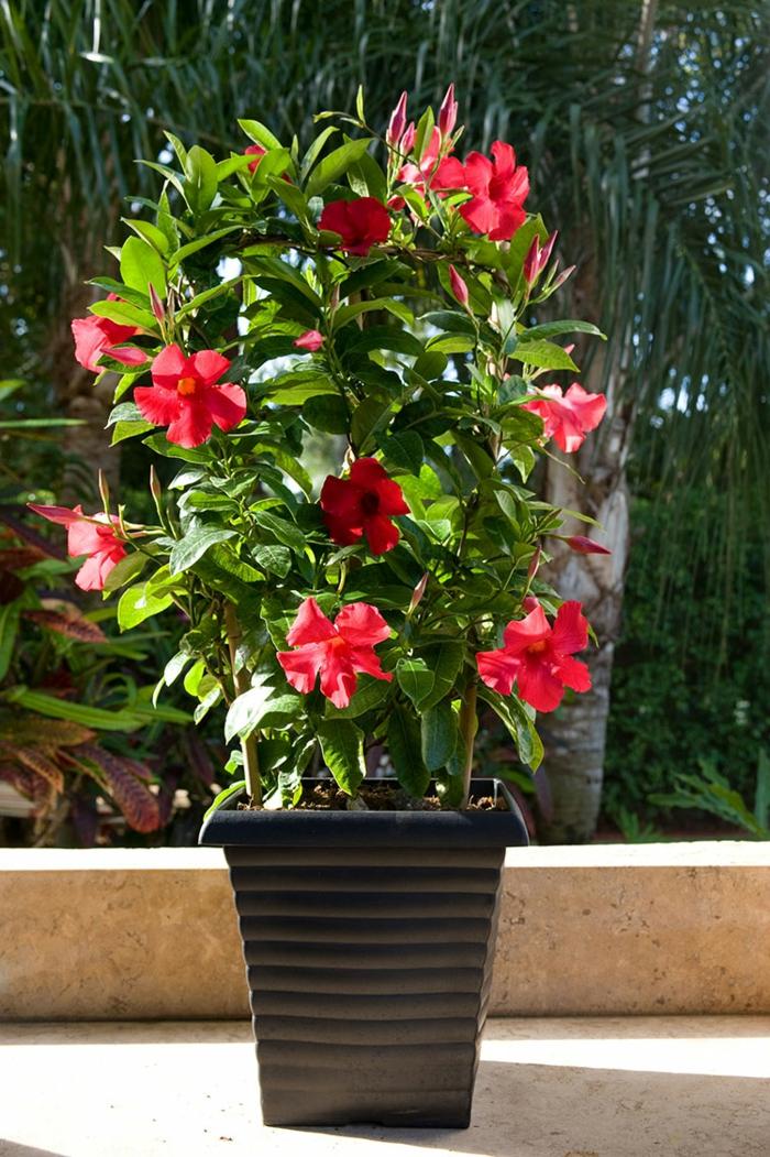 gartenpflanzen mandevilla blumentopf garten verschönern