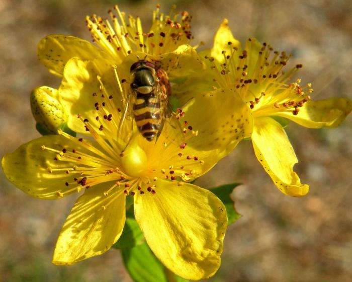 johanniskraut blüte biene heilpflanze gesundheit