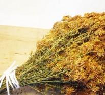 Johanniskraut Wirkung – Kennen Sie die Eigenschaften dieser Heilpflanze?
